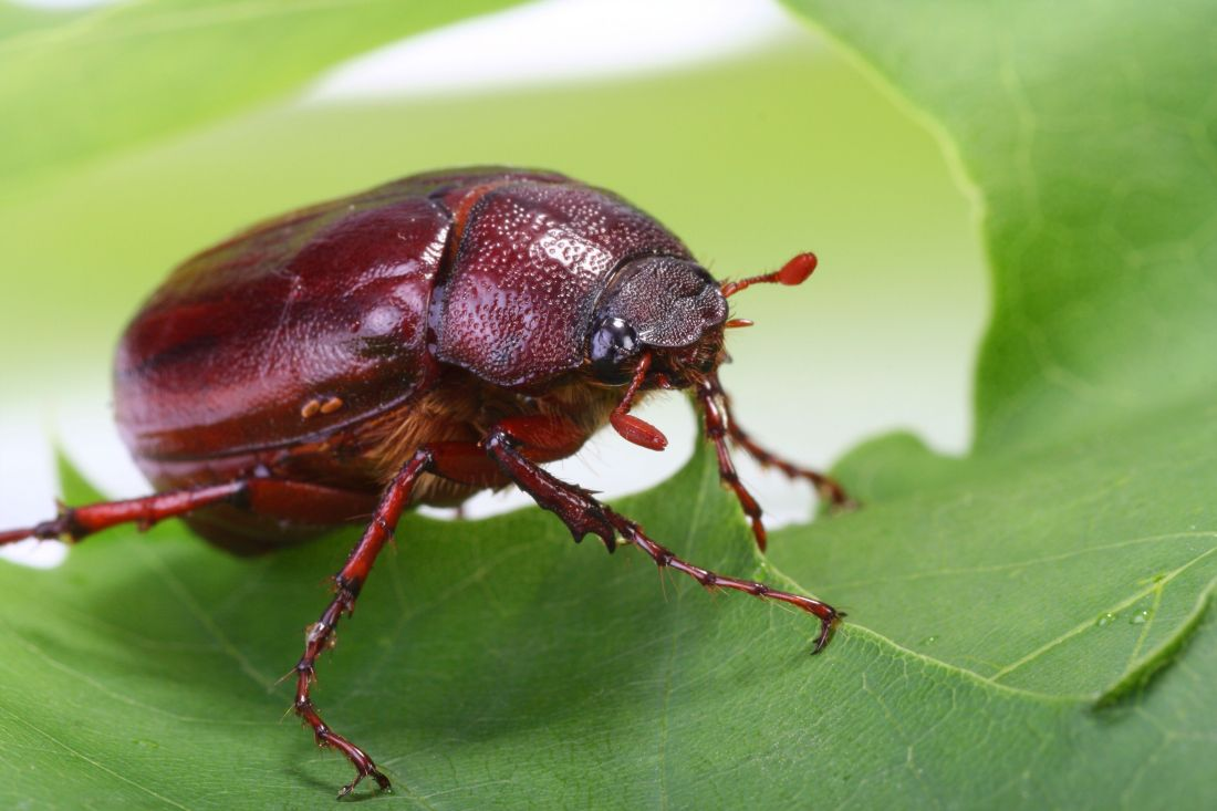 As larvae june bugs eat the roots of grasses as adults