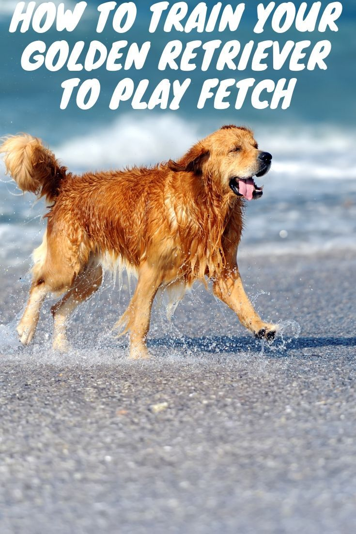 How to train your golden retriever to play fetch golden