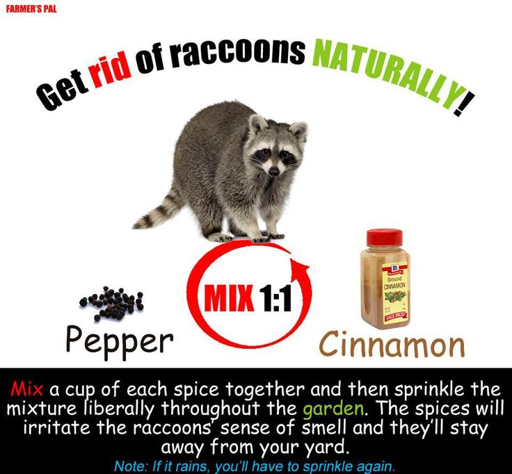 Raccoon repellent things for the house pinterest
