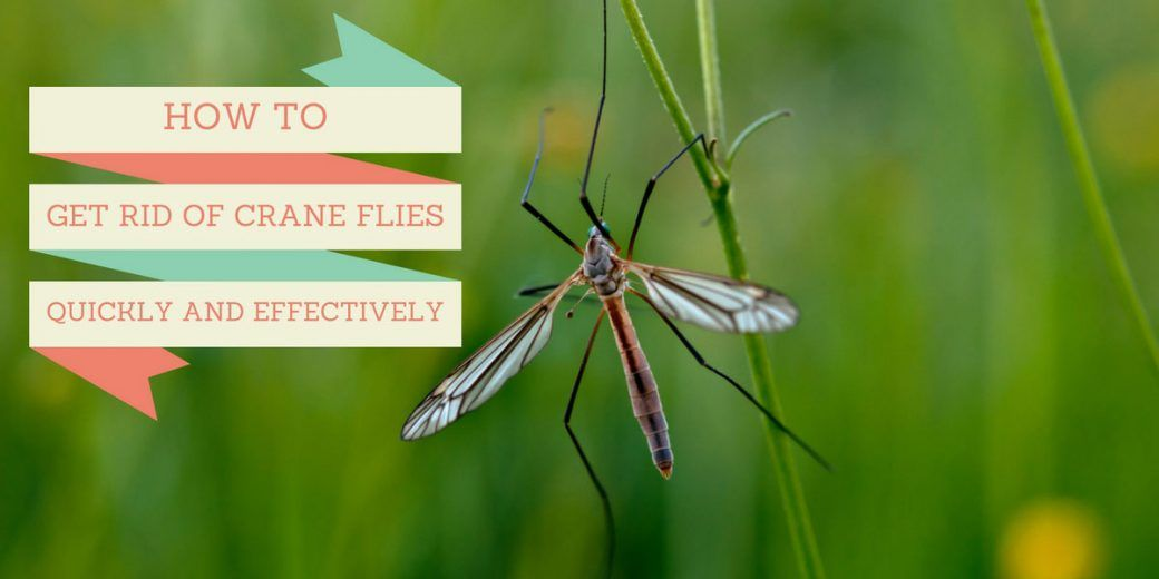 how to get rid of crane flies in lawn
