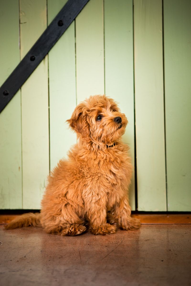 Miniature english goldendoodle with images