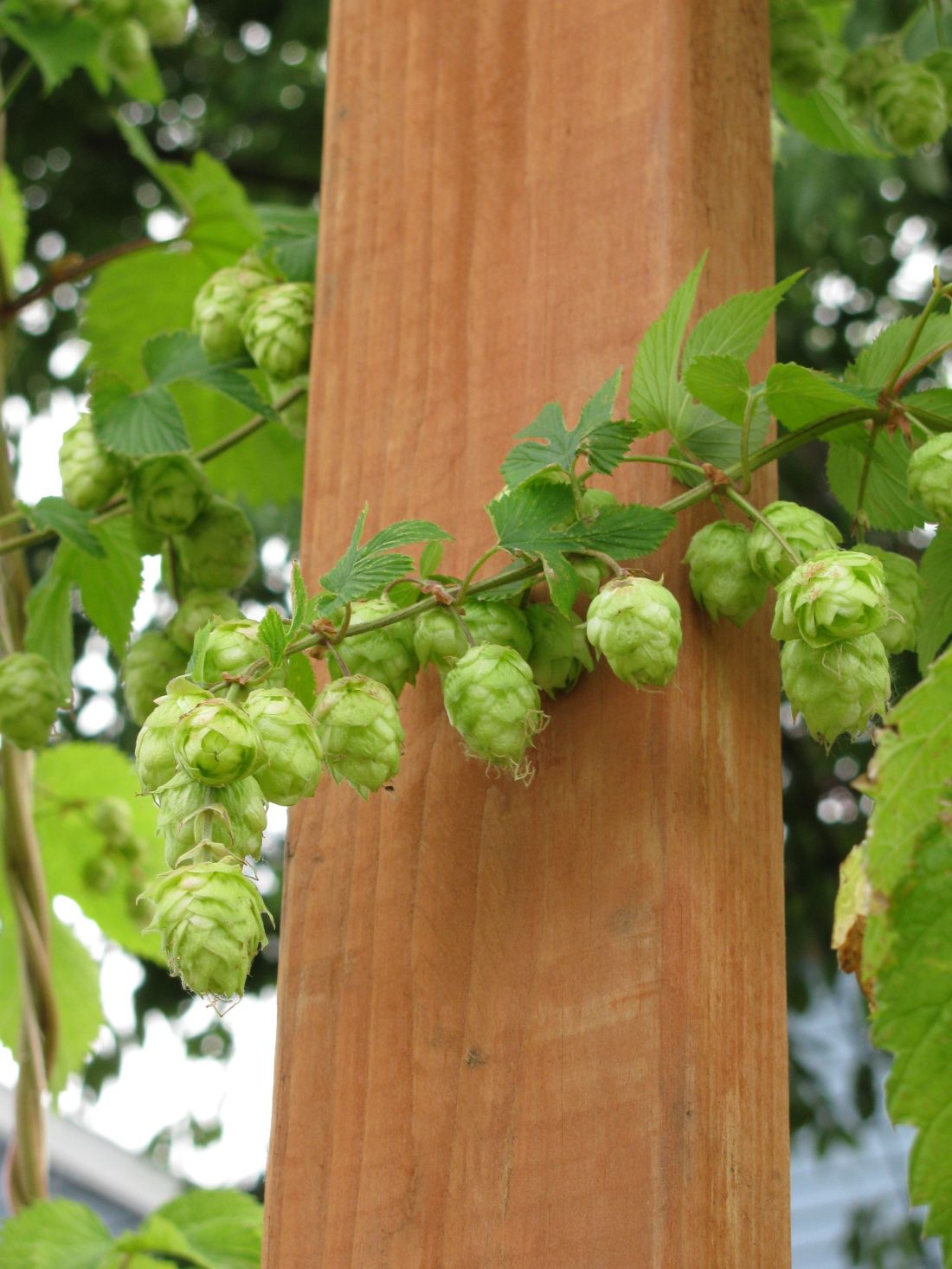 Growing hops to make your own beer make your own beer