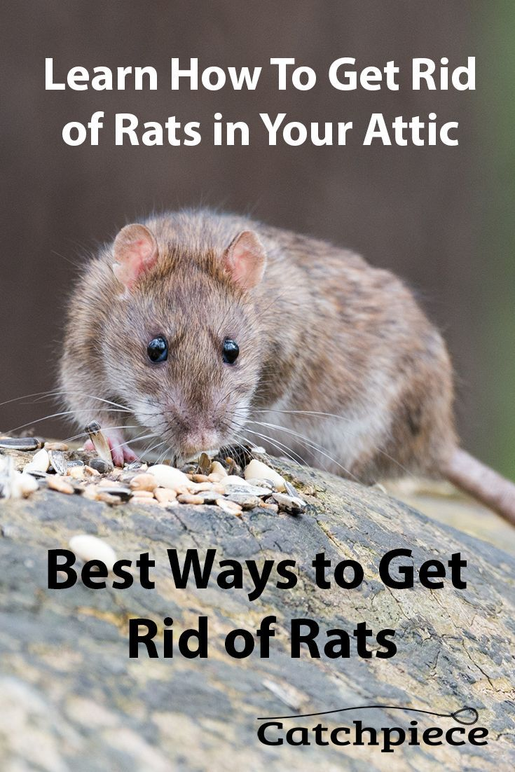 Best ways to get rid of rats getting rid of rats