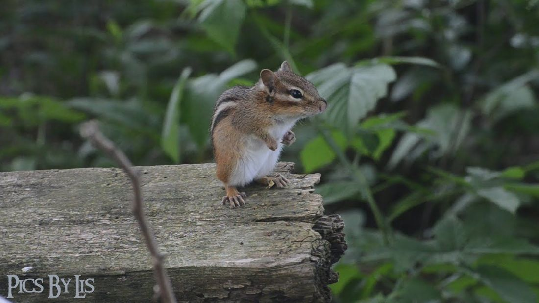 how to catch a chipmunk for a pet