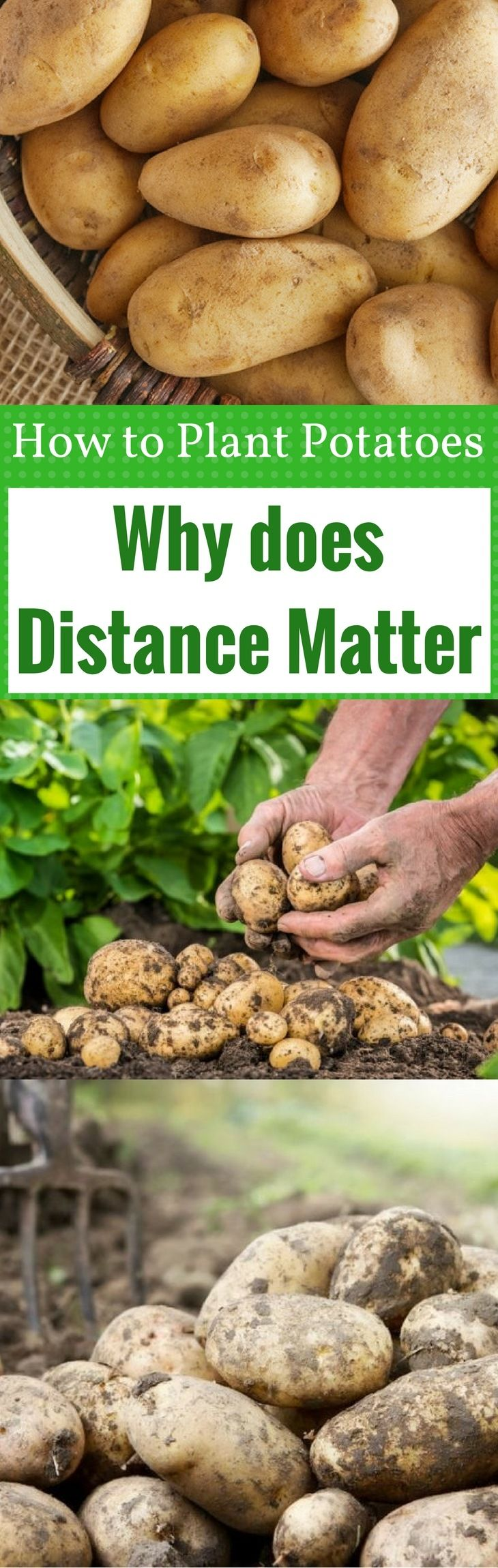 How far apart to plant potatoes why does distance matter