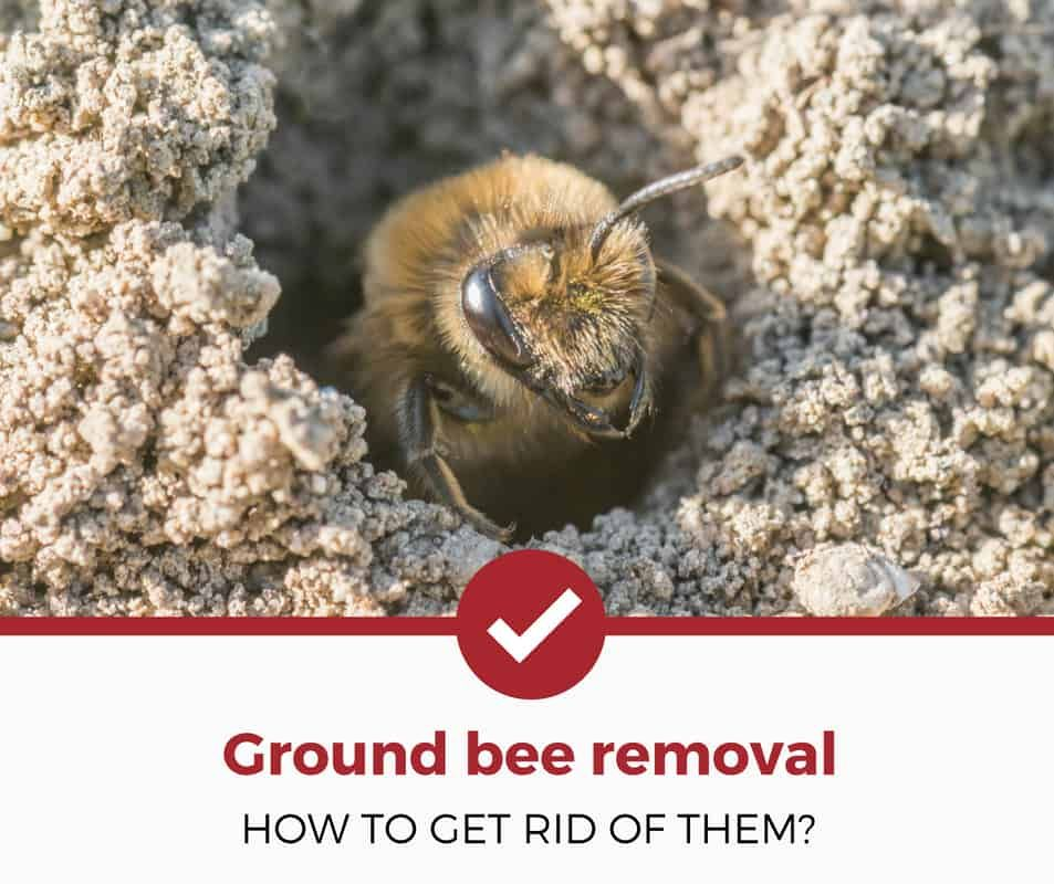How to get rid of ground bees simple guide with images
