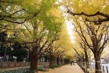 東京銀杏景點︳2019明治神宮外苑銀杏祭11月15日開跑,兩旁滿滿的銀杏樹列隊歡迎