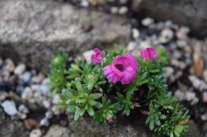 Crevice garden 05