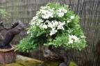 Hawthorn flowers 07