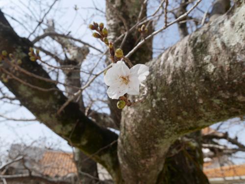 ○桜の花が咲いたよ〇【愛隣幼児学園】