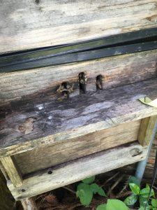 ニホンミツバチ巣箱