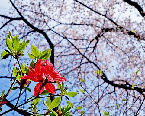 日立研究所 春の庭園開放日 2014 その1: ヤマモモ通信
