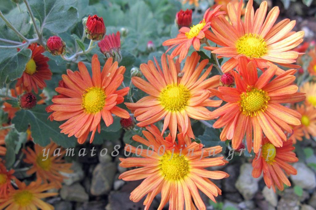 オレンジの菊