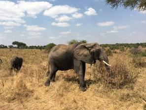 Stor elefant