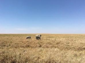 Elefantmor og unge