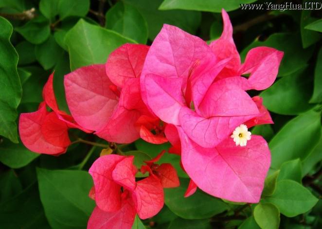 三角梅的養殖方法和注意事項-養花網