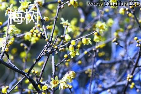 梅樹是不是梅花樹。兩者一樣嗎-養花網