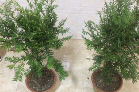 紅豆杉樹苗價格。紅豆杉幼苗多少錢-養花網