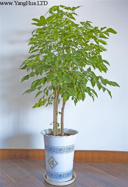 幸福樹為什麼不發新芽-養花網