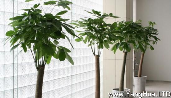 哪種發財樹最好養-養花網
