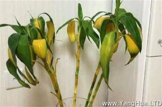 富貴竹葉子發黃怎麼辦-養花網