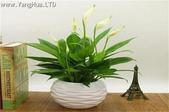 適合水養的室內植物花。吊蘭不僅能淨化空氣還有助於睡眠-養花網