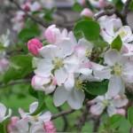 Apple Tree 3 Orchard Yankton Benedictines Sacred Heart Monastery Sisters