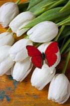 Papillon 72