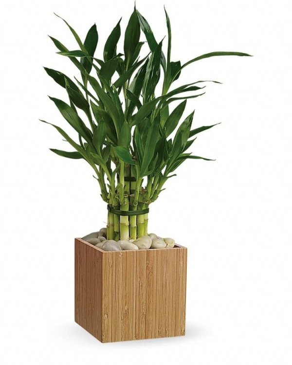 Good-Luck-Bamboo