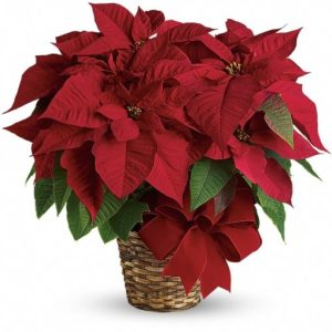 Red-Poinsettia