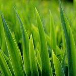 Common lawn weeds