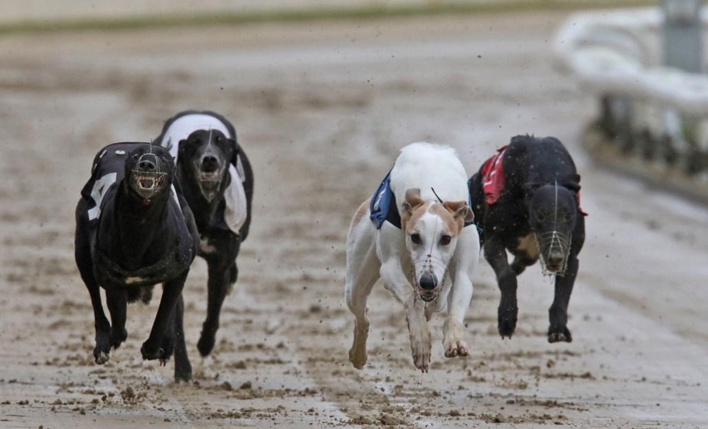 akes Magic (white and fawn dog) winning 62nd Yarmouth Championship at Yarmouth Stadium