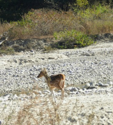 A spotted deer