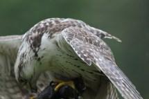 Gerfalke, Falcon