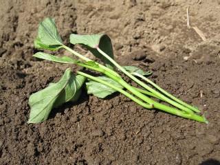 サツマイモの栽培方法 苗の植え付け