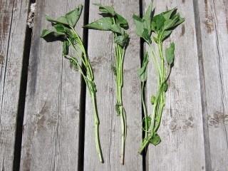 サツマイモの栽培方法 苗