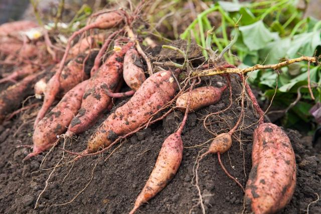 家庭菜園・サツマイモの栽培作り方