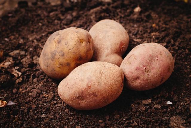 ジャガイモの作り方 種イモ選びとコツ