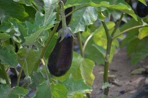 ナスの栽培方法!家庭菜園やプランターでもできる簡単美味しい作り方!