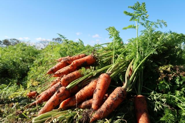 ニンジンの栽培方法!家庭菜園やプランターでもできる簡単美味しい作り方!