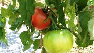 トマトの作り方 トマトの収穫後に植える野菜