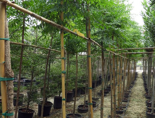Azadirachta indica TES S 06001 P36 1 - All Trees