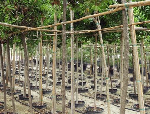 Callistemon viminalis CAL S 06004 P36 1 - All Trees