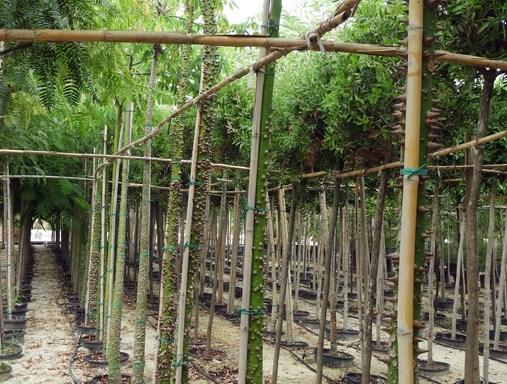 Chorisia speciosa CHS S 06001 P36 1 - All Trees