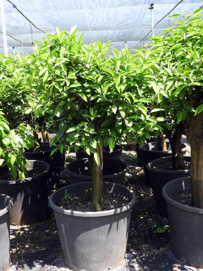 Citrus clementina MAN S 06001 P70 1 - كرمنتينا