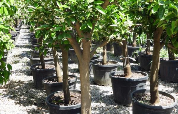 Citrus limon LIM S 06002 P60 3 - Portakal