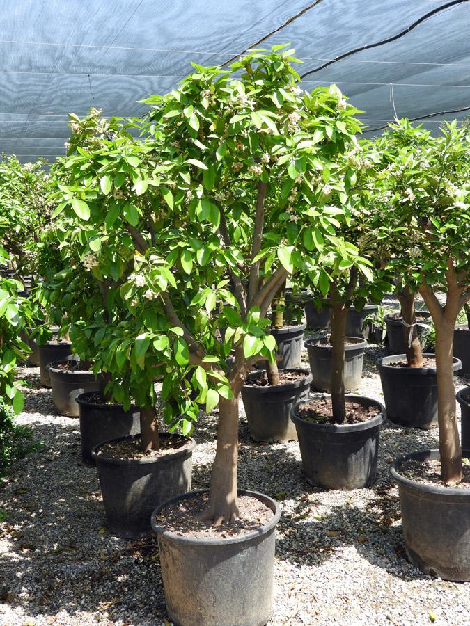 Citrus sinensis POR S 06004 P50 1 - CITRUS SINENSIS