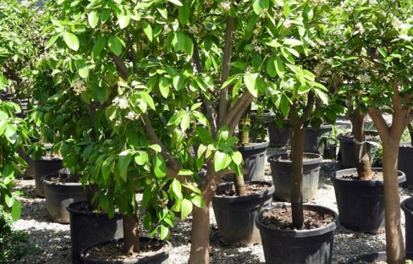 Citrus sinensis POR S 06004 P50 1 - Guava