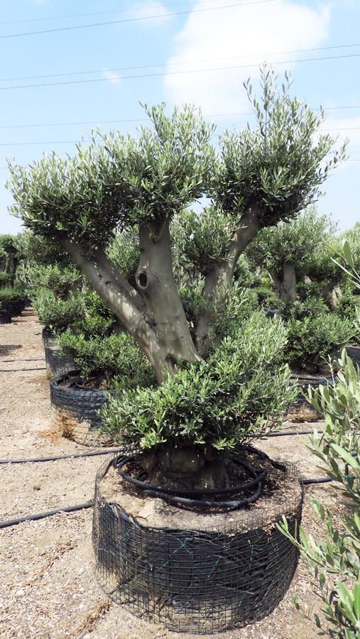 Olea Europaea – ZET-S-01002-2