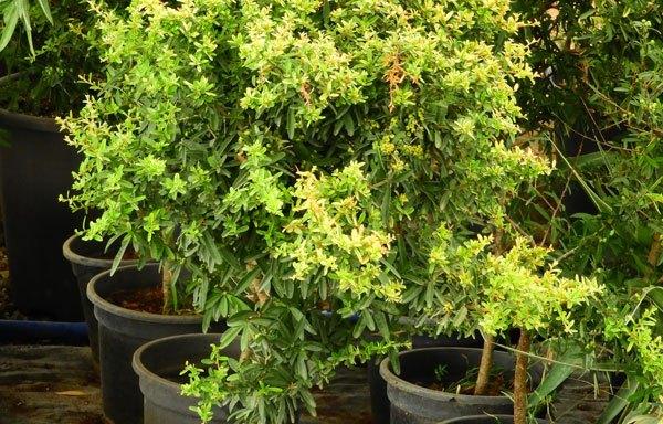 DSCN2711 - Schefflera arboriecola